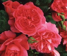 Portmeirion™ - David Austin® English Roses - Roses - Heirloom Roses