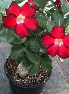 Adenium obesum 'Desert Rose'...I want a few of these.