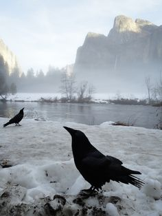 Winter Crows in Yosemite