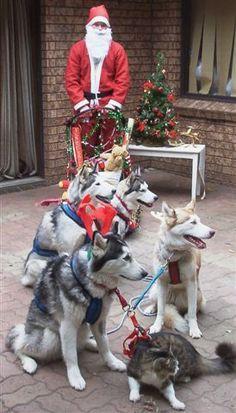 Santa's Siberian Husky Sleigh, oh, and a cat, too! :) #siberianhusky