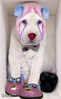 Poor clown shar-pei- i want to do this to sugar!