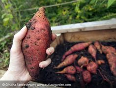 67.8 pounds. That's how many sweet potatoes I harvested from the garden yesterday. Let me tell you: 67.8 pounds is a lot of sweet potatoes. Two full boxes worth, with overflow in mixing bowls and a...