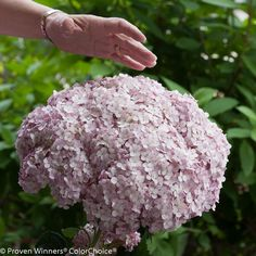 Proven Winners 3 Gal. Incrediball Blush Smooth Hydrangea, Live Shrub, Light Pink Flowers - HYDPRC1143135 - The Home Depot