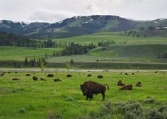 Lamar Valley, Yellowstone National Park, bison