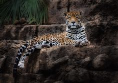 The jaguar is the only Panthera species found in America.  The jaguar is the third-largest feline after the tiger and the lion, and the largest in the Western Hemisphere.  The jaguar's present range extends from Southwestern United States and Mexico across much of Central America and south to Paraguay and northern Argentina.