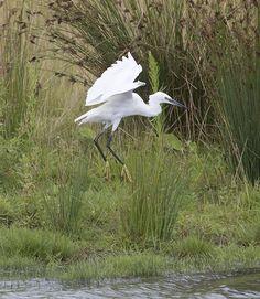Kleine zilverreiger, Little Egret. Prachtige foto van Adri de Groot. http://www.vogeldagboek.nl