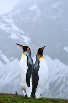~~King Penguins, Fortuna Bay, South Georgia by Steve Jones / ElysiumEpic.org~~