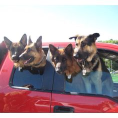 I was at the vet's the other day when a woman showed up with four very-large GSD's.  Luckily, she chose to bring them in one at a time!