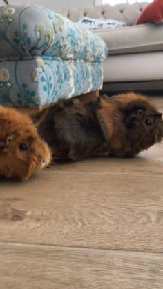 Do your guinea pigs do this? Guinea Pig Run, Small Pigs, Cute Animals, Dogs, Pretty Animals, Cutest Animals, Doggies, Cute Funny Animals, Baby Pig