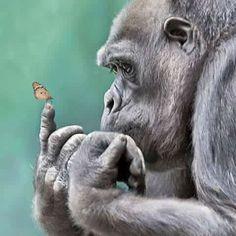 Gorilla butterfly vlinder