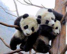 love pandas!