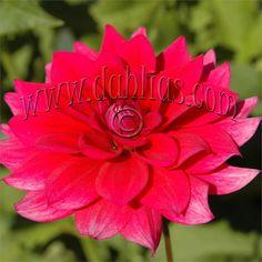 """Dahlia 'Sayonara' - semi-dwarf, 30-inch plant, 3"""" hot blooms, dark foliage.  Early bloom."""