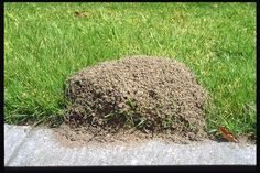 GETTING RID OF FIRE ANTS wow! Simply pour 2 cups of CLUB SODA directly in the center of a fire ant mound. The carbon dioxide in the water is heavier than air and displaces oxygen which suffocates the queen and the other ants. The whole colony will be dea Diy Garden, Lawn And Garden, Summer Garden, Fire Ants, Plantation, Pest Control, Bug Control, Home Remedies, Ant Remedies