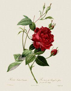 Loads of lovely botanical illustrations