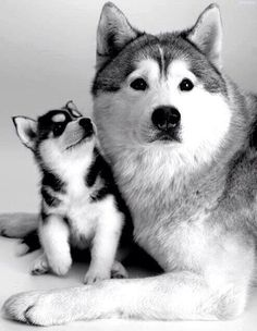 Twitter / Earth_Pics: Family portrait, Huskies. ...