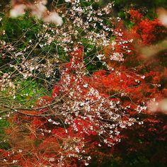 【flower_1225_k】さんのInstagramをピンしています。 《🌸桜が咲いていました( ☉_☉)゚・*:.。❁ 十月桜というらしいです(*´꒳`*)゚・*:.。❁ 紅葉をバックに桜( *´꒳`*)なんか不思議(*´꒳`*)゚・*:.。❁ #紅葉 #桜 #十月桜 #広島 #cherry_blossom #autumn_leaves #Hiroshima #Japan #写真が好きな人と繋がりたい》