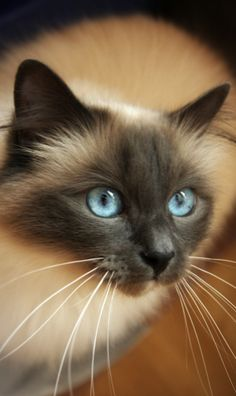 I'd like to have a Siamese kitteh again one day. My baby's name was Tabitha long time ago. She talked a lot and she was a shoulder cat :)