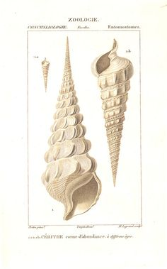 Village Antiques: Turpin - Sea Shells - Two Handcolored Antique Prints
