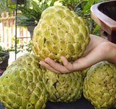 Tanaman srikaya jumbo memiliki ukuran buah yang jauh lebih besar dibanding biasanya dengan berat hampir 1 kg per buah. Buah srikaya jumbo ini memiliki keunggulan dibanding srikaya lokal.
