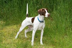 ENGLISH POINTER-reminds me of my sweet Slade!