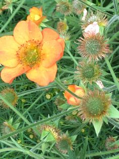 Geum 'Totally Tangerine', flower and seedheads - tellow and orange garden, center right section, left front next to mulch path Garden Pictures, June, Orange, Flowers, Plants, Florals, Planters, Flower, Blossoms