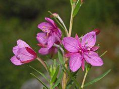 File:Onagraceae - Epilobium fleischeri-4.JPG - Wikimedia Commons