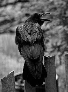 A Raven, note shape of tail. Escorpion Tattoo, Rabe Tattoo, Quoth The Raven, Raven Bird, Raven Photography, Animal Photography, Dark Wings, Jackdaw, Crows Ravens