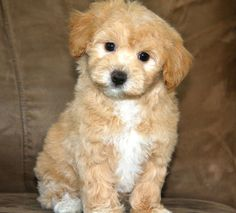 Pictures Of Maltipoo Puppies