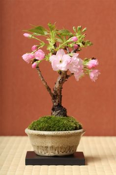 Mini Flowering Cherry Bonsai