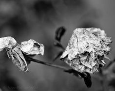 Dead roses black and white photography nature by AulaniPhotography, $22.00