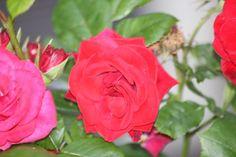 Rose in morging light