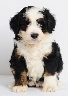 Mini Bernedoodle! Bernese Mountain Dog & Poodle cross....... Its SO cute:)