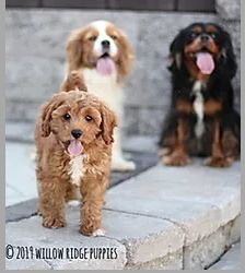 Hi guys! It's us from Willow Ridge Puppies. In the photo we have two King Charles Cavalier Spaniels and a Cavapoo in the different colors of the dogs we have. Check out the next photo of our sweet 'Piper' just chillin'. Cavapoo, Spaniels, Cavalier King Charles, Puppies For Sale, Different Colors, Wildlife, Guys, Sweet, Check