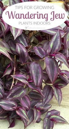 Wandering Jew Plant Care Guide - House Plants - ideas of House Plants - Wandering jew plants can be difficult to grow indoors. Once you get the hang of indoor wandering jew plant care you can keep them growing year after year. Hanging Plants, Wondering Jew Plant, Inside Plants, Plants, Garden, Growing Plants, Easy Care Plants, Plant Care, Indoor Plants