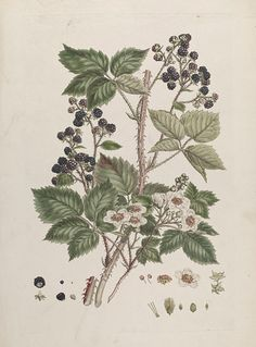 Botanical illustration by Johann Sebastian Müller (John Miller), hand-coloured engraving of a blackberry (Rubus rosaceae), for An Illustration of the Sexual System of Linnaeus, published in parts in London, British. Vine Drawing, Plant Drawing, Blackberry Tattoo, Health Tattoo, Scientific Drawing, John Miller, Branch Tattoo, Vine Tattoos, Linnaeus