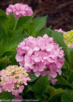 Have this in my garden.. Love it! Let's Dance® Moonlight - Reblooming Hydrangea - Hydrangea macrophylla