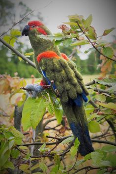 Papegøje  Macaw - needle felt Craft