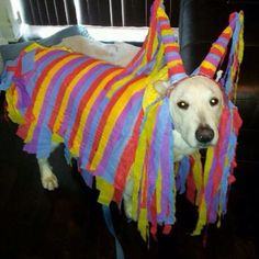 Homade piñata dog costume i made for cinco de mayo