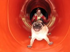 Pug dog's eyes seem to cross as its owner sends it down a slide.