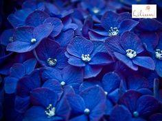 あじさい 青 ブルー blue Kind Of Blue, Blue And White, Blue Bg, Hydrangea Shade, Hydrangeas, Photo Bleu, Blue Flower Wallpaper, Everything Is Blue, Blue Wallpapers