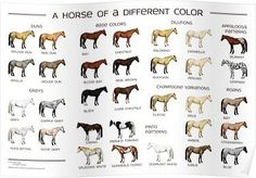 diagram of horse colors wiring diagram will be a thing u2022 rh exploreandmore co uk American Quarter Horse Color Chart Diagram of Horse Leg Bones