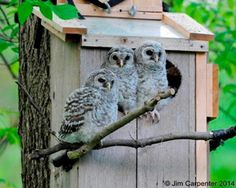 Wynken, Blynken and Nod are spending this Tuesday morning outside. Owl Nest Box, Wild Birds Unlimited, Baby Bar, Barred Owl, Great Pic, Nesting Boxes, Owls, Animals, Tuesday Morning