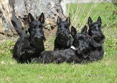Scotties | Follow Friday…Ramsey, Faolin, Tay, and Kiera | Modern Scottie Dog