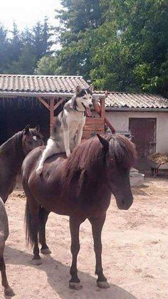 No saddle needed for this Husky.  - Funny Husky Meme - Funny Husky Quote #husky #funny #funnyhusky -  No saddle needed for this Husky. More