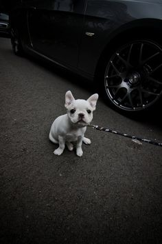 frenchie <3