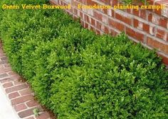 Image result for Green Velvet Boxwood