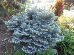 "Picea pungens ""Glauca Globosa"" in May"