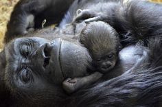 In this photo provided by the Lincoln Park Zoo in Chicago, a newborn western lowland gorilla, born on Oct. 11,2012, cuddles with its mother Bana, 17, at the zoo.