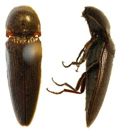 The Click Beetle has a hinged abdomen that allows it to click and flip in the air when it is placed on its back. I love to play with these guys!