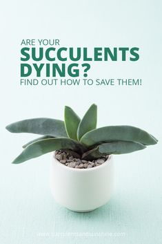 Succulents dying? Find out why they are in this post about succulent problems! Whether it's too much water, not enough water or something else, this post will help you figure it out! #whyaremysucculentsdying #succulentsdying #succulentproblems #succulents #succulentlove #succulentplants #succulentgarden #diysucculentprojects #howtosavemysucculent #wateringsucculents #succulentsoil #succulentplanters #indoorsucculents #outdoorsucculents #succulentandcactus #succulentweddingbouquets…